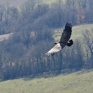 vautour fauve vers St Beaulize (Aveyron)