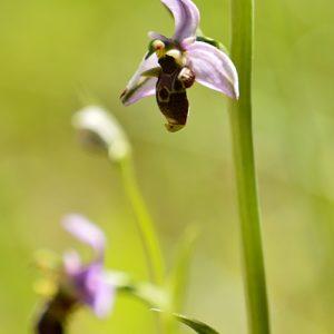 Ophrys bécasse - Sur les berges de la Vis