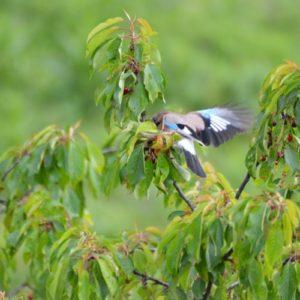 Geai des chênes, au printemps (Montjaux - 12)