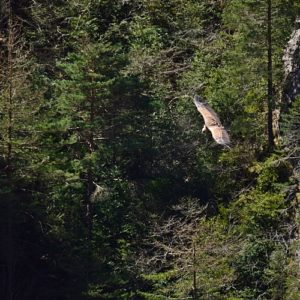 vautour fauve - Gorges de la Jonte