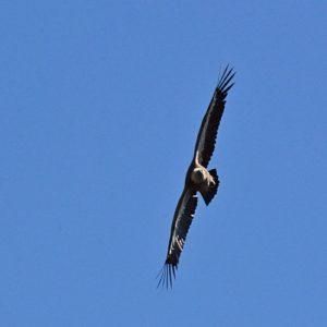 vol de vautour fauve, Gorges de la Jonte (Aveyron)