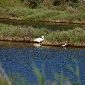 Aigrette et échasses-blanche, Vendres-Plage (Hérault)