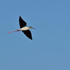vol d'échasse-blanche, Vendres-Plage (Hérault)