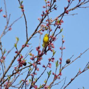 serin au printemps - (Vabres-l'Abbaye, Aveyron)