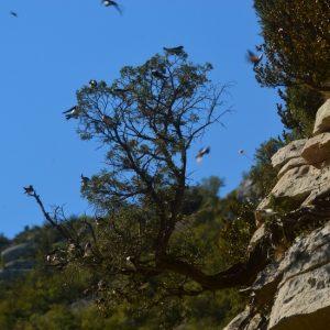 hirondelles - Gorges de la Vis (côté Hérault)