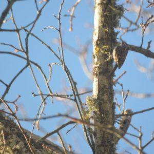 Grimpereau des jardins - (bois des alentours de Montjaux - 12)