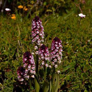 """Orchis-Brûlées, sur un tapis de  """"raisin d'ours"""" (ou """"busserole"""") - Causse Noir"""