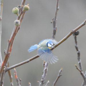 Mésange bleue en automne (Montjaux - 12)