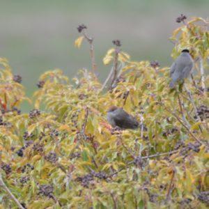 fauvette à tête noire à l'automne (femelle et mâle, Montjaux - 12)