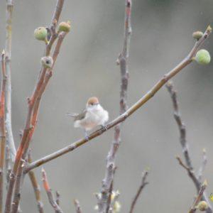 fauvette à tête noire (femelle)  en automne ...