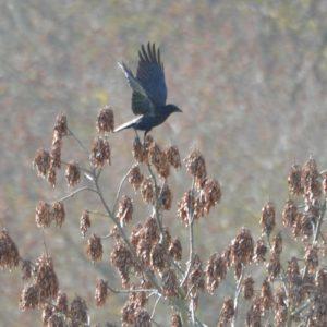 "Grand Corbeau ou ""Corvus corax"" en automne ..."
