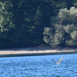 balbuzard pêcheur - Lac d'Issarlès (Ardèche)