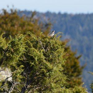 traquet-motteux (massif de l'Aigoual)