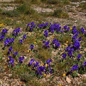iris sauvages, Roc de Mérigou (Larzac)