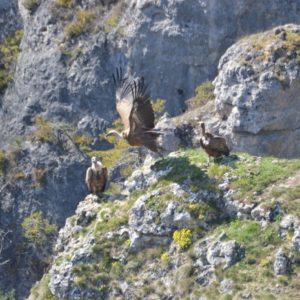 Vautours fauves, Le Truel (48) Gorges de la Jonte
