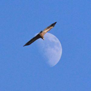 vautour fauve - Larzac