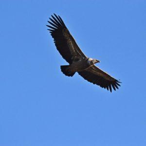 vautour fauve - Causse Noir