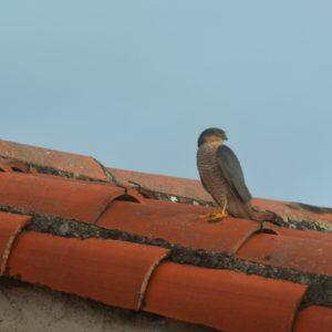 faucon crécerelle - toit de Vabres-l'Abbaye (12)