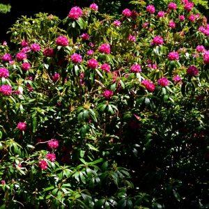 """rhododendrons - l' Arboretum de """"l'Hort de Dieu"""" au printemps (Mont Aigoual)"""
