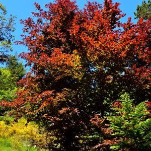 """« Hêtre pourpre » - Arboretum de """"l'Hort de Dieu"""" au printemps (Mont Aigoual)"""