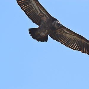 vautour fauve - au dessus des Rochers de Roques Altès
