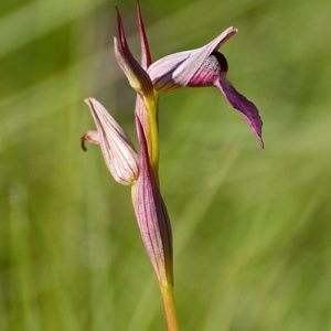 orchidée sérapias (Vabres-l'Abbaye)