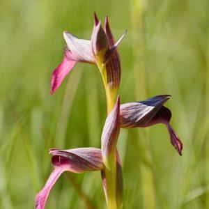orchidée sérapias (Aveyron)