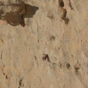 Tichodrome échelette, à Roc-Altès (12), Causse-Noir