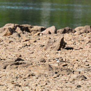 petit gravelot, berge du Lac de Vézoles