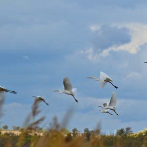 vol d'aigrettes, héron cendrés - étangs de Vendres (Hérault)