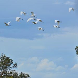vol d'aigrettes, cigogne noire - étangs de Vendres (Hérault)