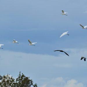 vol d'aigrettes, cigogne noire, hérons cendrés - étangs de Vendres (Hérault)