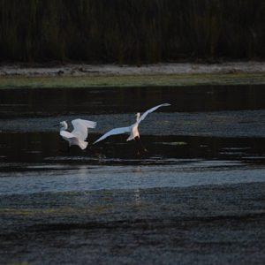 danse d'un couple d'aigrettes, étangs de Vendres plage