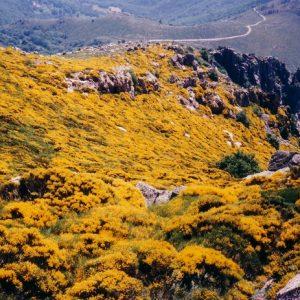 Genêts au roc de Trenze - Dans le sud-est du massif du Lozère