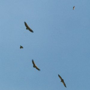 Vautours fauves - Au-dessus des Gorges de la Jonte