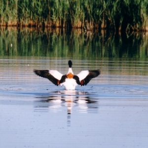 Tadorne - Canard, étang de Cacharel