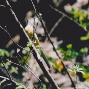 La Bergeronnette des ruisseaux - Les gorges de la Vis