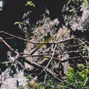 Bergeronnette des ruisseaux - Nourrissage, gorges de la Vis