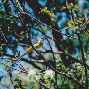 Bergeronnette des ruisseaux - Période de nidification, et d'alimentation de la couvée, (Gorges de la Vis)