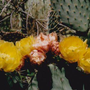 Floraison de cactus - Salagou