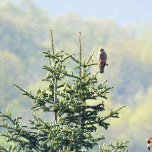 Faucon crécerelle - Au petit matin, dans le bas du village de Montjaux (Aveyron) altitude 680 m