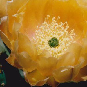 Fleurs du cactus - Lac du Salagou