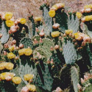 Cactus et fleurs - Lac du Salagou