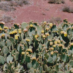 Cactus en fleurs - Berges sud du Lac du Salagou, Hérault (34)