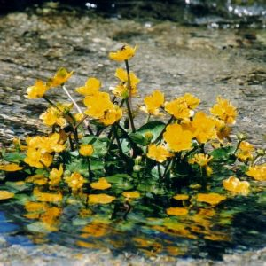 Souci d'eau - Dans la Mère l'Aïgue, mont Lozère