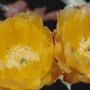 Fleurs de cactus - Sur les rives sud du Lac du Salagou