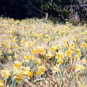clairière de jonquilles - (les sources de la Dourbie, massif de l'Aigoual)