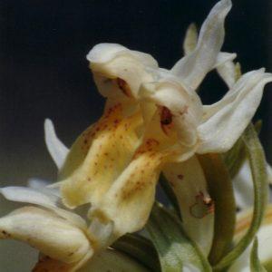 Orchidée sureau