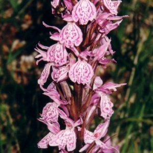 Orchidée tachetée - Au ravin de la Levade (ouest du pic de Cassini/Malpertus), massif du Lozère