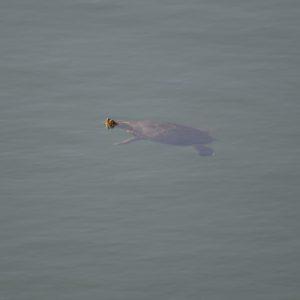 tortue d'eau - Cistude d'Europe (Lac du Salagou - 34)